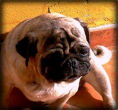 My pug chillin...:)