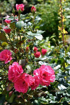 rose love...
