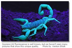 Scorpion UV fluorescence is well known, but we haven't seen many pictures that show this unique quality (Photo by Kenton Eliott)