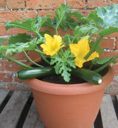 FOOD Potted courgette