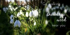 Snowdrops are the first official flowering plant of the year, spot them on walks in the deep of winter!
