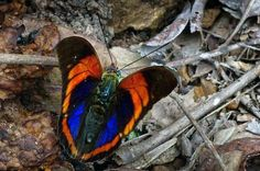 What are the rarest and most endangered butterflies of the world? This quick and easy guide tells you all about these beautiful and critically imperiled insects