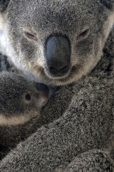 'Mother and Child' | Koalas