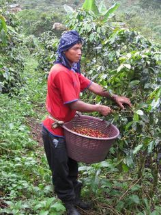 Read Information about Costa Rican coffee plantations, history and the growth of organic coffee. Contact us for coffee tours. Costa Rice, Coffee Study, Coffee Origin, Hispanic Heritage, Coffee Girl, Coffee Recipes, Central America, Or Noir, Farmers
