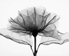 X ray photography of a rose by steven meyers