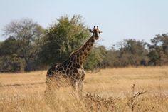 Destination - Zimbabwe - Safari - Travel - Africa - Holiday - Voyage - Landscape - Nature - Wildlife - Animals - Adventure - Country - Trip - Awesome - Heart - Culture - Photography - Tribe - Beautiful - People - Dreams – History – Viaggi - Tourism – National Park – Bigfive – Bigcats – Elephant – Lion – Kudu – Leopard – Crocodile – Zebra – Impala –Rhino – Buffalo – Ippo - Costume  #salibonanizimbabwesafaris