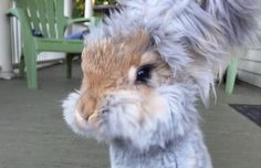 Meet Wally! He's an Angora rabbit who lives with his owner, Molly, in Massachusetts.Share This on Facebook?Image via Instagram: wally_and_molly