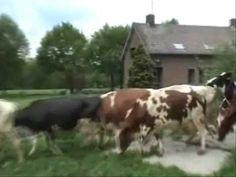 Koeien naar buiten! Koe & Boe. een mooi en bekend beeld