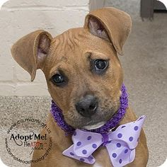 I am at a high kill shelter in Troy, OH - Pit Bull Terrier Mix. Meet Ginger, a puppy for adoption. http://www.adoptapet.com/pet/15304778-troy-ohio-pit-bull-terrier-mix