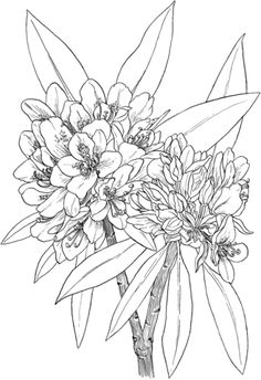 Great Laurel or Wild Rhododendron or Rosebay Hododendron or White Laurel Coloring page