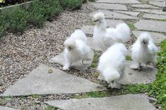 I could get behind chickens that look like sheepdogs.