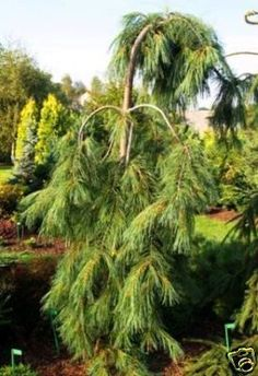 Weeping White Pine-planted one of these 2 years ago. Backyard Trees, Evergreen Trees, Japanese Maple, Lawn, Herbs, Landscape, Pine, Flowers, Plants