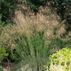 Stipa Gigantea is a great statement plant whilst also being light and airy. Back Gardens, Small Gardens, Grass For Sale, Stipa, Buy Plants Online, Grass Type, Evergreen Garden, Herbaceous Border, Garden Equipment