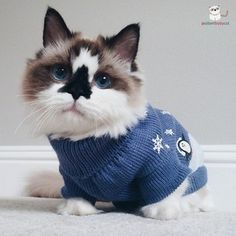 He's the ideal cuddle buddy during sweater-weather season. | Albert Is The Cutest Munchkin Cat You Will Ever See