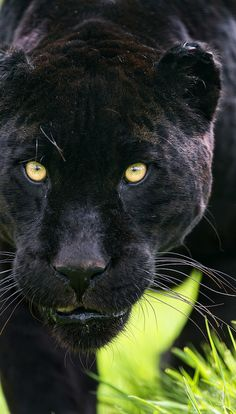 ~~Athena walking ~ black panther with a mission by Tambako the Jaguar~~