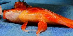 Un poisson rouge opéré d'une énorme tumeur cérébrale. Comment maintenir pendant trente minutes sur la table d'opération un animal aquatique? Descriptifde cette opération inédite menée en Australie.