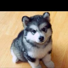 Pomsky puppy - cutest thing ever.
