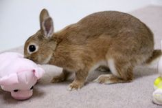 Ichigo san 428 いちごさんうさぎ rabbit bunny netherlanddwarf brown cute pet family ichigo ネザーランドドワーフ ペット いちご うさぎ