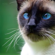 For the love of siamese
