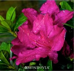Monrovia's Double Shot® Grape Azalea details and information. Learn more about Monrovia plants and best practices for best possible plant performance.