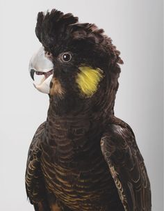 'Melba' (Yellow-Tailed Black Cockatoo) Beautiful Portraits Of The Wild Birds Of Australia Reveal Their Expressive Faces Exotic Birds, Colorful Birds, Love Birds, Beautiful Birds, Animals And Pets, Cute Animals, Wild Animals, Australian Parrots, Puffins Bird