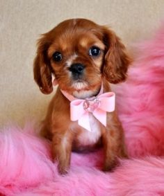 Sweet little King Charles puppy