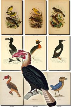 BIRDS-23 Collection of 218 vintage pictures Ducks Wigeons