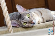 My cat Baby Girl (F6 Savannah)
