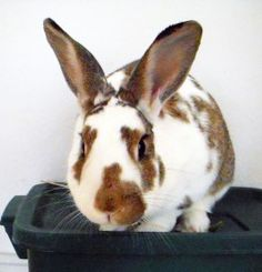 When a bunny wants to play, his ears are up, his body is slightly forward, and he directs his attention to you.