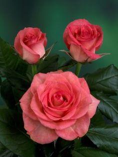 Kordes rose - Dekora