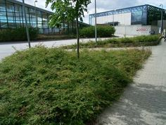Bunddækkende buske (Lav Rød Snebær)