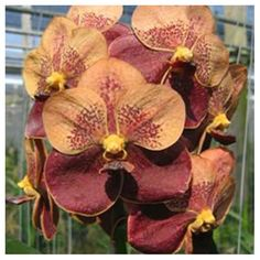 #vanda-jiraprapa-hybrid-x-asc-butterfly-orchid_buy #orchid #buy #bangalore