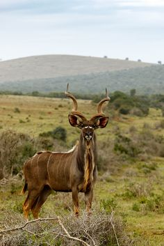 Kudu standing and looking at you Kudu standing in the field and looking at you.