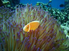 Scuba Nemo.