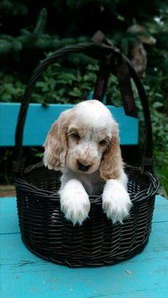 Cockerspaniel, English Cocker Spaniel, Spaniels, Plastic Laundry Basket, Adorable Animals, Bathroom, Friends, Heart, Dogs