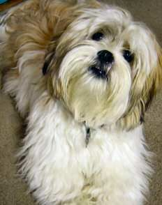 Lhasa Apso Color: Any combination of black, white, brown, sandy, slate, smoke, honey, golden, dark and grizzle. Height: Males: 10...