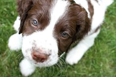 English Springer Spaniel Puppy Dog .