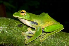 Helen's giant green flying frog, found just 100 kilometers (60 miles) from Ho Chi Minh City, glides between treetops using its large, webbed hands and feet.