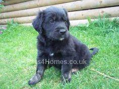 Our next puppy... a black golden retriever....