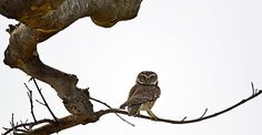 An Indian spotted owl on alert for prey in broad daylight, in the Mayong forest in Guwahati city, India