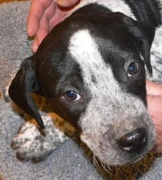 GIDGET is an adorable 10 week old, 11-lb Bluetick Coonhound mix.