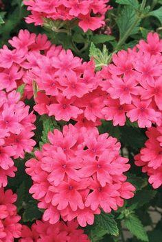 Um jardim para cuidar: Verbenas, para umas floreiras sempre floridas !