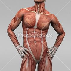 Male human anatomy and muscles — Stock Image #19872483