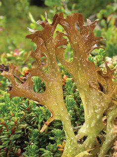 standard_islandslav Fungi, Green Beans, Stuffed Mushrooms, Vegetables, Graphics, Iceland, Medicinal Plants, Plants, Stuff Mushrooms