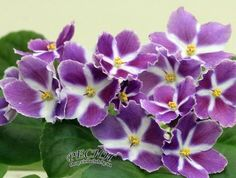 African Violet RS Baltazar Plant Ukrainian Variety | eBay