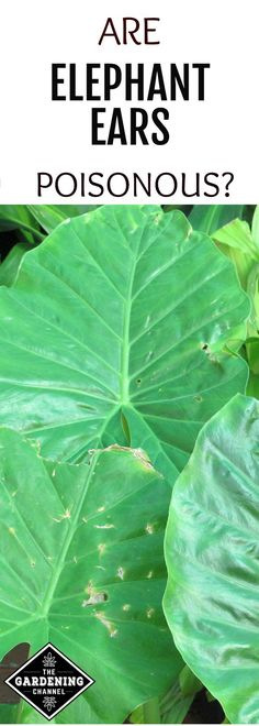 Are elephant ears poison?  Should these plants be placed out of reach from pets and children in your garden?