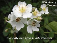 One of the challenges of the manifestation process is that we can see what we want but we don't have enough juice to actualize it; We somehow get trapped in our own heads. Blackberry essence creates success by helping us translate our dreams into reality.