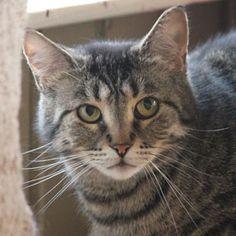 Adoptez /Adopt 3315 - Mitsou (Femelle, née approx. en août 2013 / Female, born approx. August 2013) #Adoptable #Cat #Chat #Montreal #Verdunluv http://www.refugechatsverdun.com/chats_a_adopter.html#3315