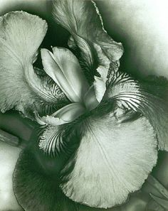 solarization portrait of an iris by Man Ray (1926)