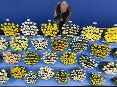 Horticulturalist Johnny Walker waters his daffodils in the Great Pavilion at the 2015 Chelsea Flower Show in London on May 18.  Justin Tallis, AFP/Getty Images